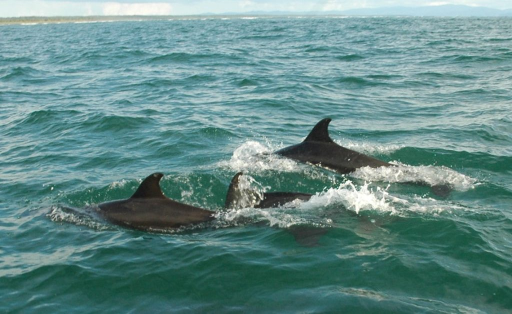 3 dolphins swimming uvita costa rica