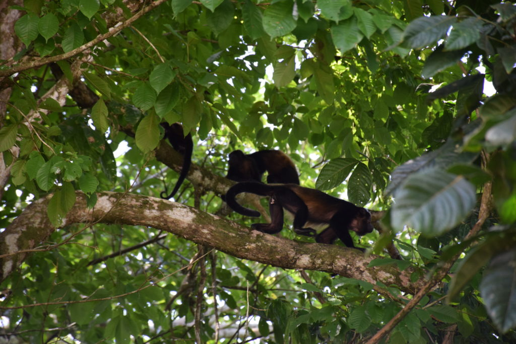 troop of howler monkeys costa rica
